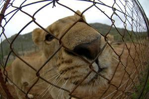 A Captive Lioness Puts Her Nose Up Against a Wire Fence in an Animal Sanctuary in South Africa by Keith Ladzinski