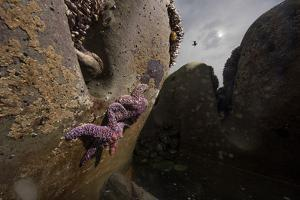 A Female Ocher Sea Star Releases a Slurry of Eggs into a Tide Pool by Keith Ladzinski