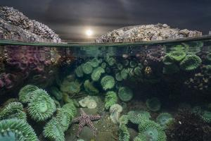 A Lone Ocher Sea Star Feeds on Mussels and Barnacles by Keith Ladzinski