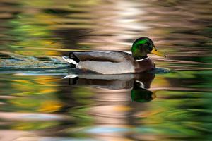 A Male Mallard Duck Swims in a Pond at Sunrise by Keith Ladzinski
