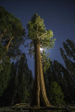 A Sequoia Tree in the Old Growth Forest of California's Sequoia National Park by Keith Ladzinski