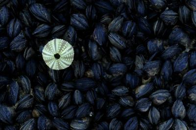 A Single Sea Urchin Shell on a Bed of Mussels, Lambert's Bay, Cape Town, South Africa by Keith Ladzinski