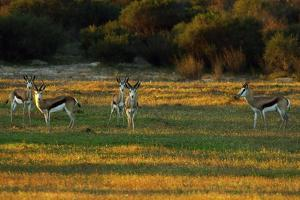 A Small Herd of Springbok in Cederberg Wilderness Area, South Africa by Keith Ladzinski