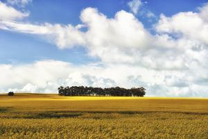 A Stand of Trees Amid a Field of Yellow Flowers by Keith Ladzinski
