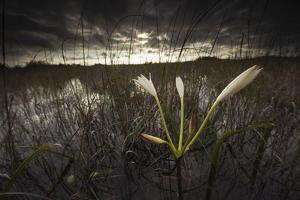 A White Swamp Lily Flowering Amongst the Sawgrass in Florida's Everglades National Park by Keith Ladzinski