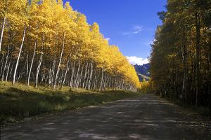 Aspen Trees with Vivid Yellow Color Along a Road, San Juan Mountains by Keith Ladzinski