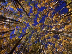 Autumn Aspen Trees in Maroon Bells Snowmass Wilderness Area, Colorado by Keith Ladzinski