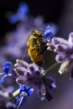 Close Up of Honeybee on Russian Sage Flowers, Colorado Springs by Keith Ladzinski