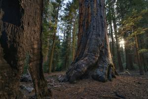 Drought Effected Giant Sequoia Trees in Sequoia National Park by Keith Ladzinski