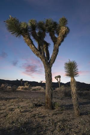 Drought Effected Joshua Trees in Joshua Tree National Park by Keith Ladzinski
