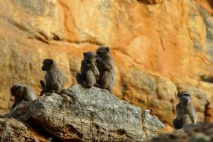 Five Baboons on a Rock Sitting and Grooming in Cederberg Wilderness Area, South Africa by Keith Ladzinski