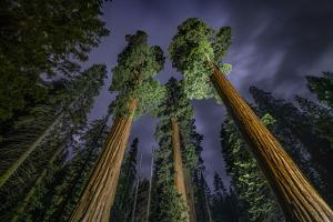 Giant Sequoia Trees in the Old Growth Forest of California's Sequoia National Park by Keith Ladzinski