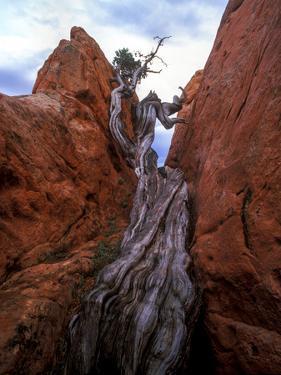 Juniper in a Rock Crevasse, Garden of the Gods, Colorado by Keith Ladzinski
