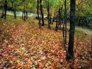 Leaves in Autumn Hues Litter the Ground in an Open Forest by Keith Ladzinski