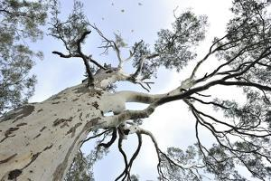Looking Up into the Top of a Eucalyptus Tree by Keith Ladzinski