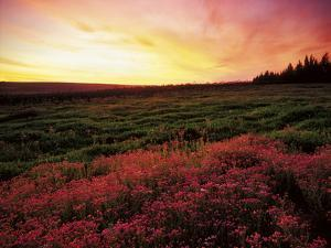 Pink Wild Flowers at Sunset, Cedarberg Wilderness Area, South Africa by Keith Ladzinski