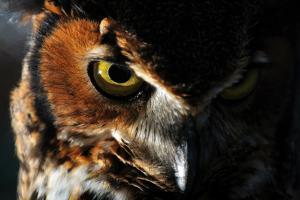 Portrait of a Great Horned Owl, Bubo Virginianus by Keith Ladzinski
