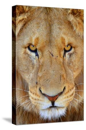 Portrait of an African Male Lion with Scars, in South Africa by Keith Ladzinski