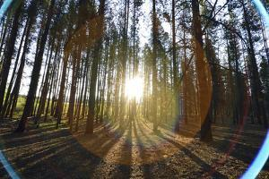 Sunlight and Bright Halos Shining Through a Pine Forest by Keith Ladzinski