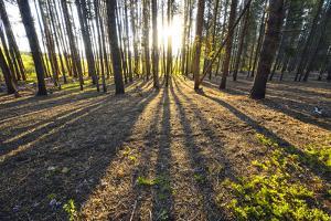 Sunlight Shining Through a Pine Forest by Keith Ladzinski