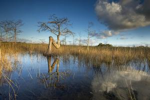 The Curved Trunk of a Cypress Tree in Florida's Everglades National Park by Keith Ladzinski