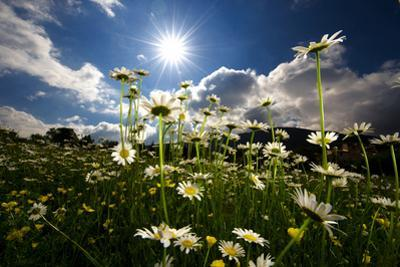 The Sun Shines on a Patch of Daisies by Keith Ladzinski