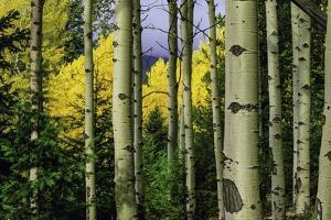 Aspen Grove In Autumn by Keith Lazelle
