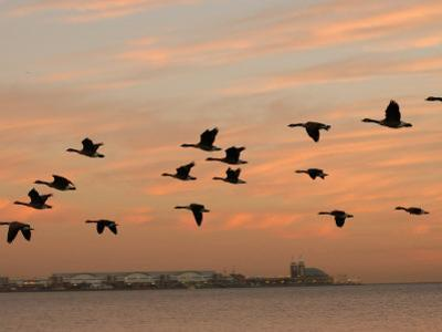 Canadian Geese in Flight in Chicago by Keith Levit