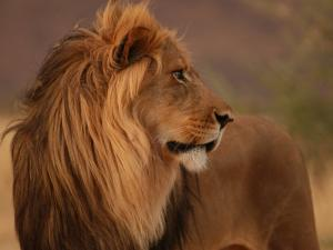 Male Lion, Namibia, South Africa by Keith Levit