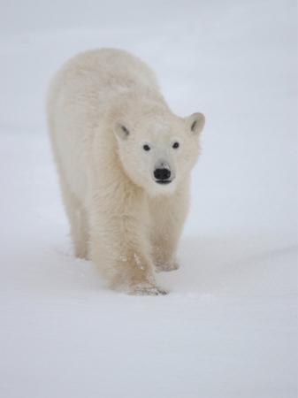 Polar Bear in Churchill Manitoba by Keith Levit
