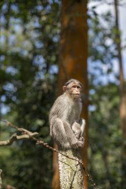 A Bonnet Macaque, Macaca Radiata, Sits on a Post to Keep Watch by Kelley Miller