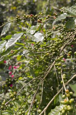 A Coffee Plant's Branches Full of Unripe Green Berries by Kelley Miller