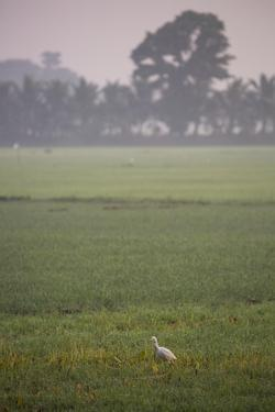 A Single Cattle Egret, Bubulcus Ibis, Walks Through a Field in the Backwaters by Kelley Miller