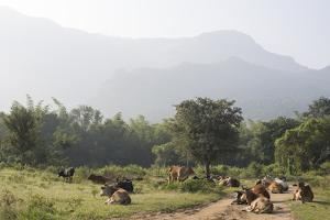 Cattle Lie in the Middle of a Road at the Nilgiri Foothills by Kelley Miller