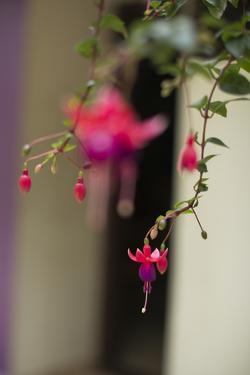 The Flower of a Hardy Fuchsia Plant, Fuchsia Magellanica, Hangs Down by Kelley Miller