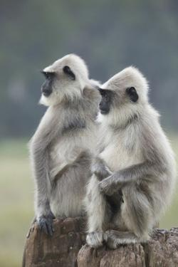 Two Alert Gray Langur Monkeys, Semnopithecus Hector, Sit on a Post by Kelley Miller