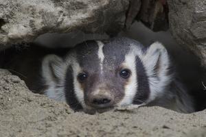 American Badger peeking out of den by Ken Archer