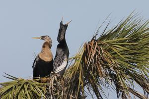 Anhinga pair courtship by Ken Archer