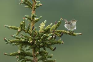 Arctic Warbler, Sub-arctic Boreal forest by Ken Archer