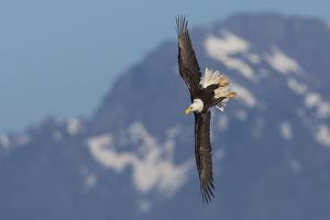 Bald eagle crow by Ken Archer