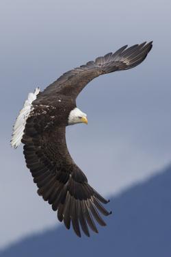 Bald Eagle flying by Ken Archer