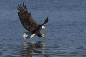 Bald Eagle going after prey by Ken Archer
