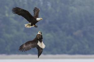 Bald eagle pair battle over morsel of food by Ken Archer