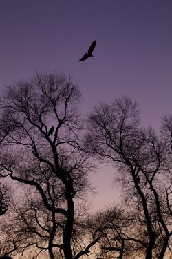 Bald Eagle Pair Silhouette in Oak Trees by Ken Archer