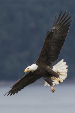 Bald Eagle by Ken Archer