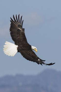 Bald Eagles flying by Ken Archer