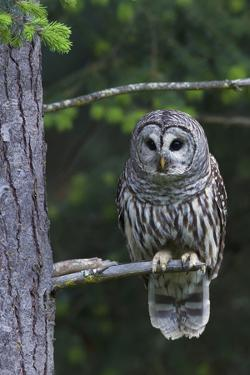 Barred Owl, Hunting at Dusk by Ken Archer