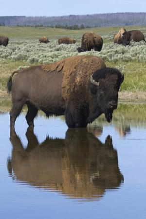 Bison Bull Reflecting