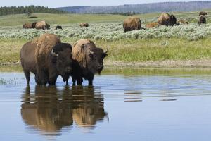 Bison Herd by Ken Archer