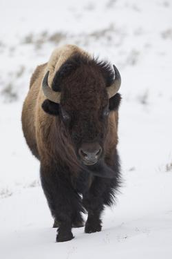 Bison winter bull. by Ken Archer